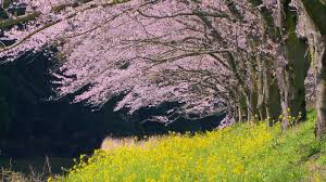 Japanese Cherry Blossom Tree by