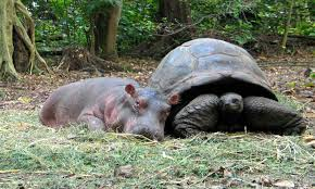 Baby Hippo Meme - tortoise and baby hippo interspecies friendship know your meme