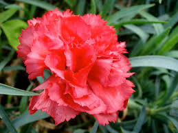 State Flower Of Montana - ohio state flower red carnation
