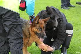 belgian shepherd victoria australia endurance german shepherd dog council of australia