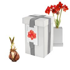 amaryllis bulbs in recycled steel gift box givingplants