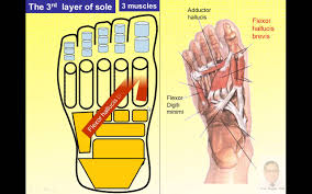 Sole Of The Foot Anatomy Magdy Said Anatomy Series Lower Limb The Foot 2 V1 Youtube