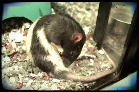 black friday 2017 petsmart a fancy rat busy grooming to look her best during black friday