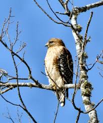South Carolina birds images Sc south carolina bird pictures page prey birds jpg