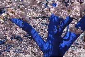 startling blue trees will soon adorn seattle treehugger