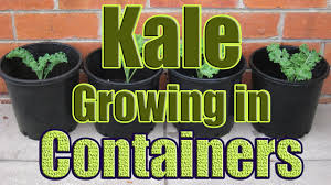 how to grow kale in containers growing kale in pots outdoors or