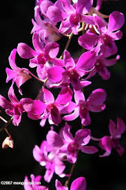 purple orchids orchids
