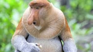 proboscis monkey wild indonesia youtube