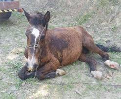 Égua grávida sofre maus-tratos e não resiste - ANDA - Agência de ...