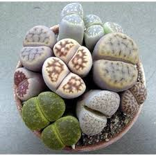 amazon succulents 122 best lithops images on pinterest succulent plants