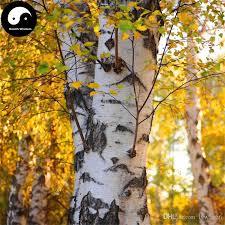 2017 buy real white birch tree seeds plant betula