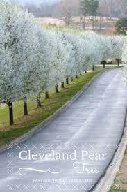best 25 flowering pear tree ideas on pinterest bradford pear