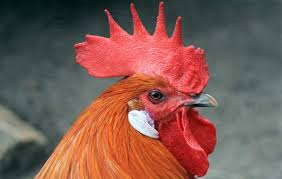 why do roosters have wattles