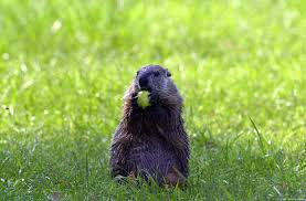 free groundhog wallpaper download animals town