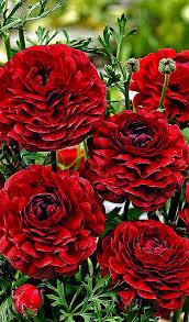 Flower Love Pics - ranunculus u0027pauline chocolate u0027 flower bulbs from spalding bulb