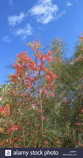australian native plant list pink red flower of grevillea