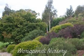 best australian native hedge plants plants for sandy soils native plant and revegetation specialists