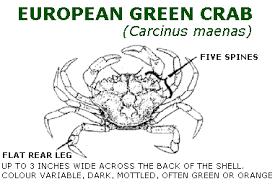 european green crab carcinus maenas aquatic invasive species