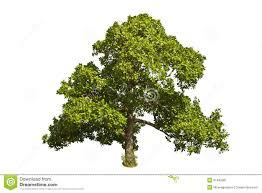 cashew nut tree anacardium occidentale l stock image image