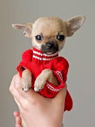 chihuahua sweaters chihuahua puppy in sweater animals chihuahua