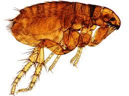 sarasota flea control sarasota and bradenton u0027s best pest control