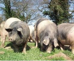 chambre agriculture 87 porc cul noir limousin agence de l alimentation nouvelle aquitaine