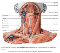 Anatomy Of Shoulder Muscles And Tendons Applied Anatomy Of The Shoulder Girdle