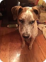bluetick coonhound rescue georgia duke and daisy adopted puppy duke071115 atlanta ga