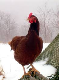chicken breeds weather with help your backyard chickens beat