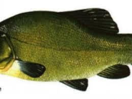 oter le gout de vase à un poisson comme la tanche par ratapoil