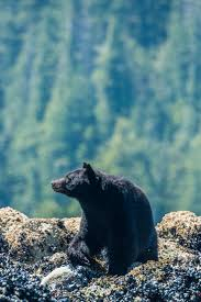 best 25 black bear ideas on pinterest cute bears bears and bear watching candied salmon one perfect sunset tofino british columbia