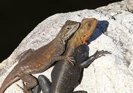 Seeking Lizard Heat Seeking Agama Lizard Nature S Folio