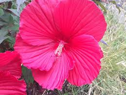 Which State Has A Hibiscus how to prune hibiscus 10 steps with pictures wikihow