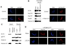 a dominant negative form of pom121 binds chromatin and disrupts