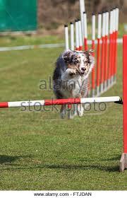 australian shepherd jumping up australian shepherd dog stock photos u0026 australian shepherd dog