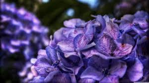 purple flower dreamy purple flower 4k hd desktop wallpaper for 4k ultra hd tv