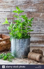 preparing an urban vegetable garden a mint plant in a tin pot on