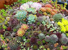 Rock Garden Succulents Replanting Everything Succulent