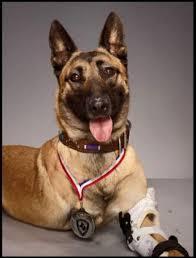 belgian malinois in ohio military dog layka a belgian malinois from galena ks while