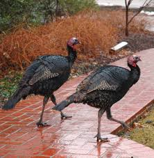 ready turkey thanksgiving when should the thanksgiving turkey be thawed texas liberal