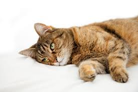 seizures in cats signs causes diagnosis treatment