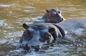 si e social hippopotamus baby hippo al parco le cornelle il nome si decide su