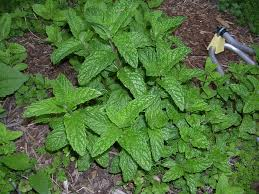 vegetable garden mint story daily musings everyday recipes