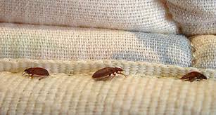 light bed bug infestation multifamily property management five signs you have a bed bug