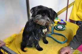 affenpinscher crufts 2016 danny u0027s day at crufts 2014 in pictures