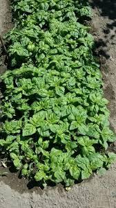 basilico in vaso malattie coltivare basilico guida per principianti