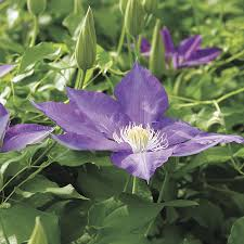 h f young clematis for sale at wayside gardens