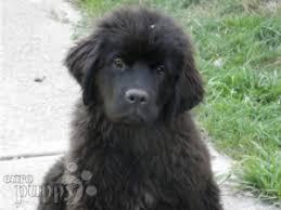australian shepherd newfoundland newfoundland puppies for sale euro puppy