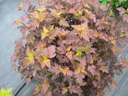 native plants of wisconsin physocarpus opulifolius u0027center glow u0027 center glow ninebark