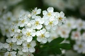 Trees With White Flowers Names Of Flowering Trees With White Flowers Images Of Flowers And